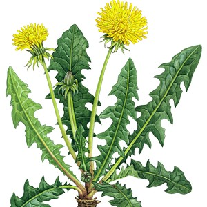 Dandelion Herb Root Cut