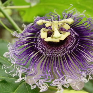 Passionflower Herb Cut