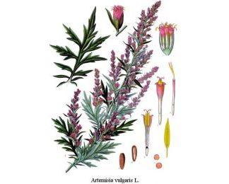mugwort-Artemisia-vulgaris