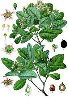 boldo leaves south africa