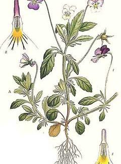 Pansy - Heartsease Herb