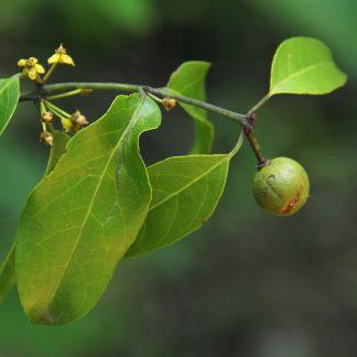 Salacia leptoclada - Uhlangahomo
